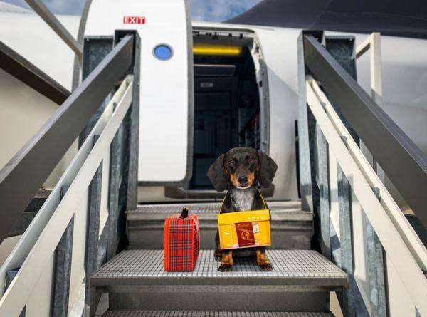 Perro subiendo al avión