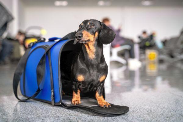 Perro transportin abierto aeropuerto