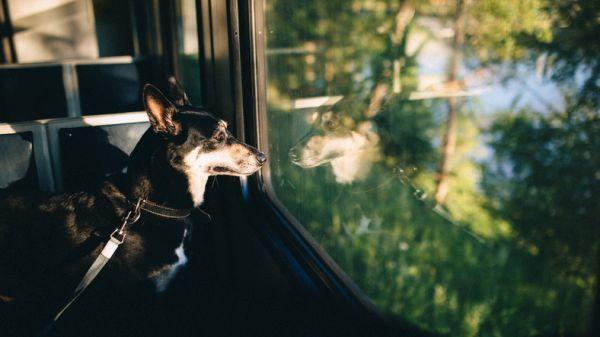 Viajar con perro en renfe en asiento de tren mirando ventana