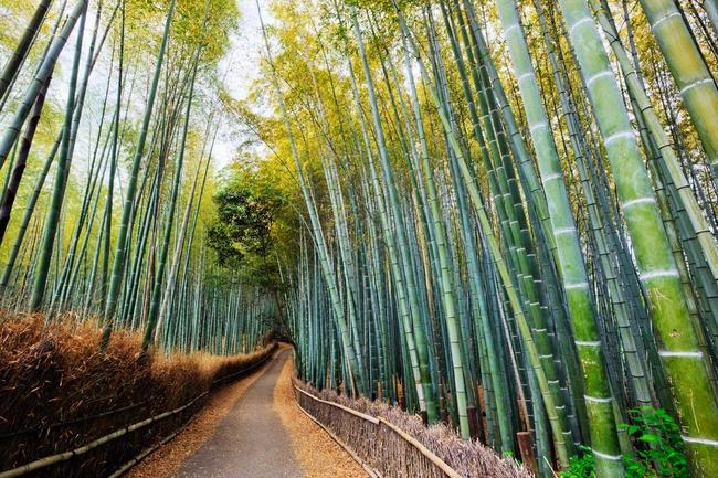 los-15-tuneles-arbol-mas-bonitos-del-mundo-arashiyama-kioto