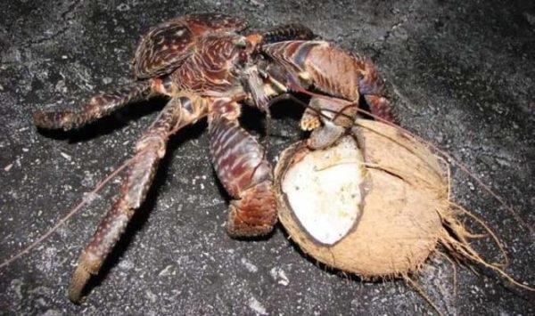 16-razones-por-las-que-no-ir-viajar-a-australia-cangrejo-cocotero